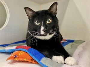 Fones Foster Writes Fone is a mellow affectionate boy who would probably love to be an only cat