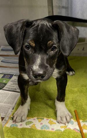 George Pointer Dog