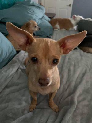 Titus Chihuahua Dog