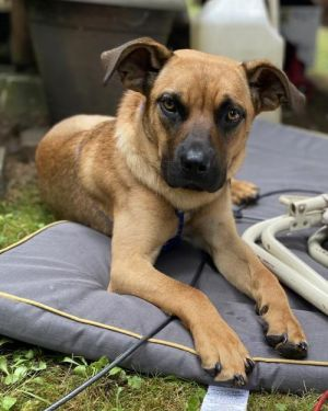 Rain - Cane Corso mix 7 months old Needs a home with a yard and another dog Kids over 10