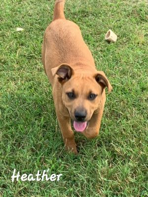 Hi my name is Francis I am a 4 month old Pitbullhound mix My siblings and I were saved with