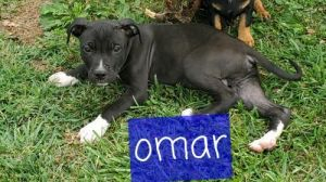 Omar 12 week American Bulldog He is a playful boy He loves belly rubs and playing with his brothers