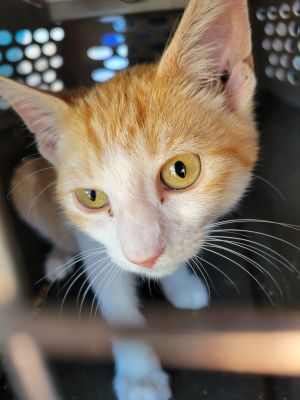 Cheetos Domestic Short Hair Cat
