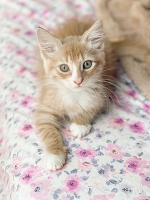 MUST GO TO A HOME WITH A PLAYFUL CAT UNDER THE AGE OF 2 YEARS OLD His estimated date
