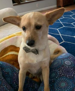 Marlena Chihuahua Dog