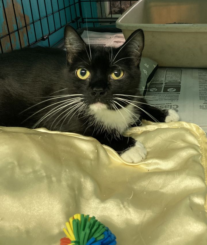 OJ, an adoptable Domestic Short Hair in Spencer, IN_image-1