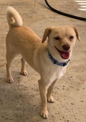 Linus Jack Russell Terrier Dog