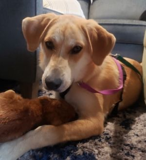 Gloria - 8 month old Lab mix Must have another dog in the home Needs a yard Kids over 10