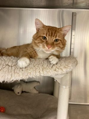 Orange Julius or OJ for short is a little over a year old He is is an all-around great cat