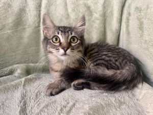 Ariel is an adorable and loving kitten She loves to play and snuggle Ariel gets along well with ot