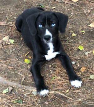 Baffle Basset Hound Dog