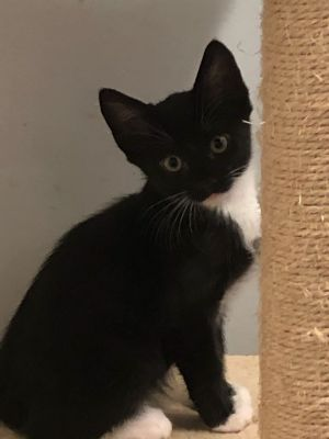 Hi my name is Mushu I am 8 wks old male tuxedo kitten I have 7 siblings and a mom