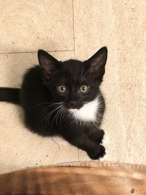 Yoshi is a 8 wks old male tuxedo kitten I have 7 siblings and a mom We were rescued from