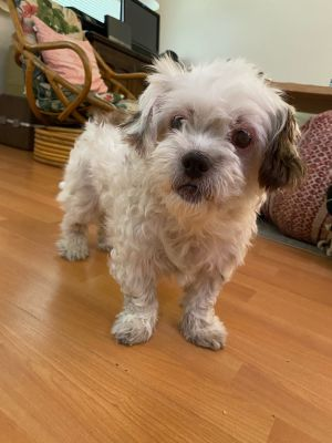Eloise is a 7 yr old female Shih TzuTerrier mix Eloise was rescued from the shelter where she ca