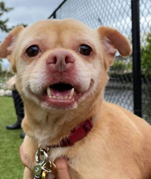Meet HENNY -- a sweetheart of a little chihuahua looking for her new furever home Henny has been in