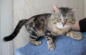 Pat Domestic Short Hair Cat