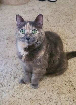 Phoenix Dilute Tortoiseshell Cat
