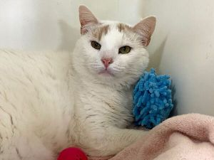 The Foster Writes Phillipe is a Cutie Gorgeous with thick white fur with light tan ears and tail