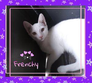 Frenchy Domestic Short Hair Cat