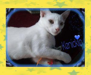 Kenickie Domestic Short Hair Cat