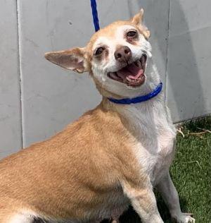 fOXY Chihuahua Dog