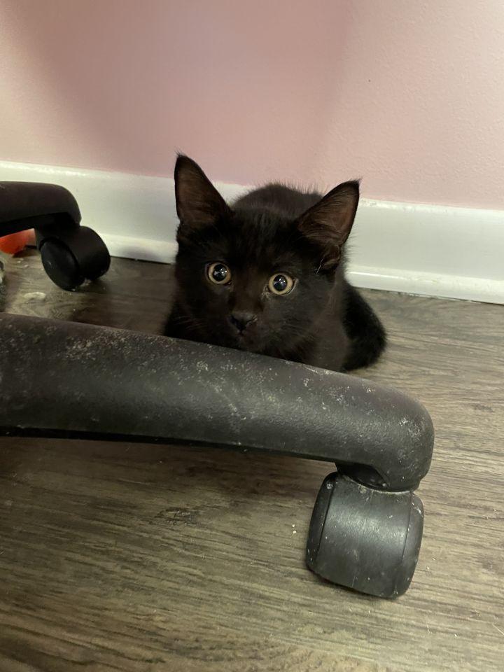 Rory (Gracie kittens) 1