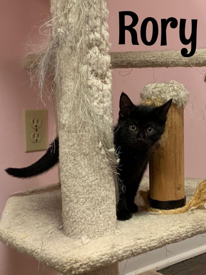 Rory (Gracie kittens) 5