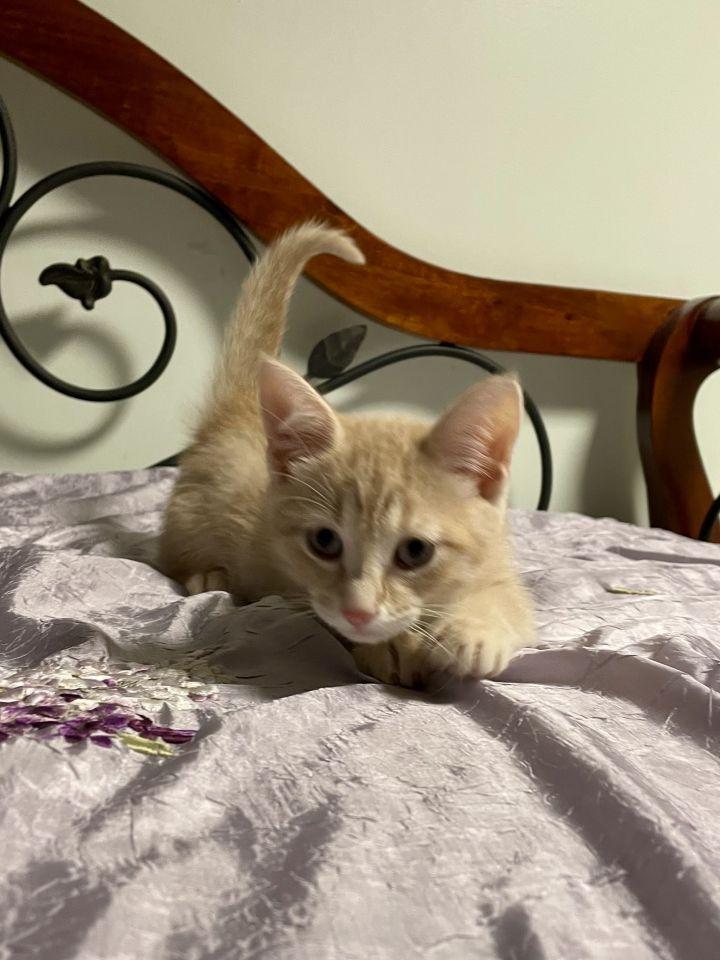 Finn (Gracie kittens) 4