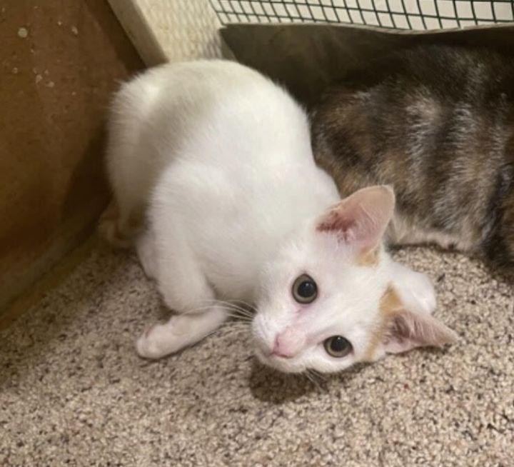 Petey (Orange kittens) 2
