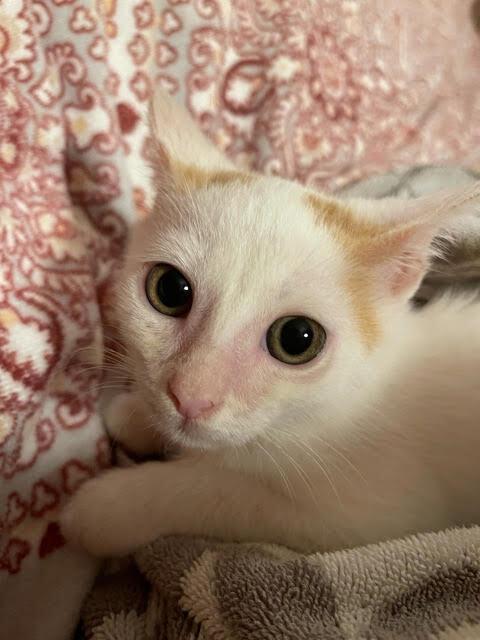 Petey (Orange kittens) 3