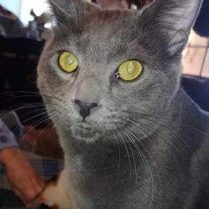 Slater Domestic Short Hair Cat