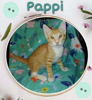 Pappi Domestic Short Hair Cat