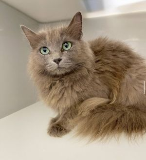 Meet Pearl a stunning two-year-old gray longhaired kitty who was part of the shelters TNR trap ne