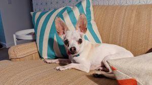 Bebe Chihuahua Dog