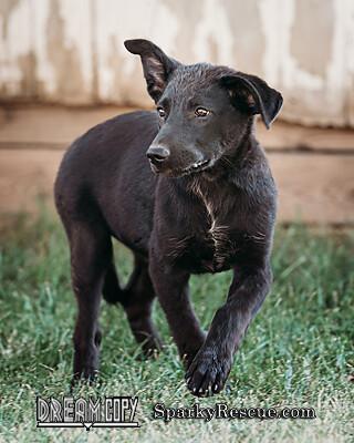 !Shepard mix puppies!!! 4