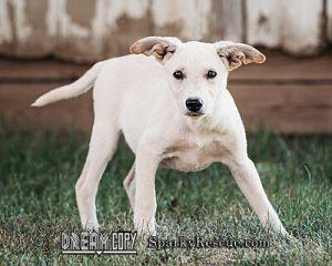 !Shepard mix puppies!!!
