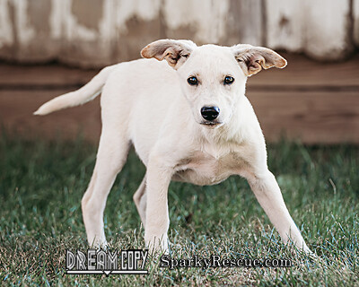 Shepard Mix Puppies detail page