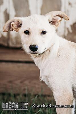!Shepard mix puppies!!! 5