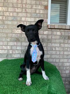 Murphy - 10 months old mixed breed Around 20-23 lbs Needs a home with a yard Kids over 10 Murphy