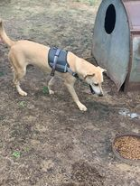 Meet Chuck Chuck is a male yellow lab around a year old is very playful with other dogs and he