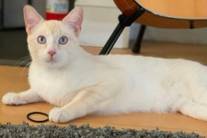 Sami Domestic Short Hair Cat