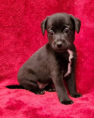 JEWEL 9 weeks and 4lbs as of 71021  Chi Mix Spayed Female Please welcome these tiny little be