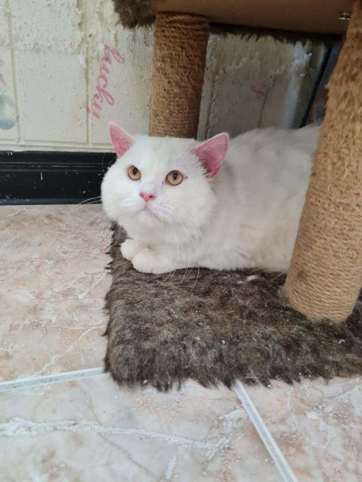 Tamino White Kuwaiti Purrsian 1