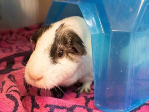 Big J is a wonderful Guinea Pig in need of a home Guinea Pigs really dont need a whole lot