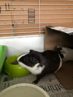 We love to watch Pasadena Humanes Albert Thornhill on the move Guinea Pigs really dont need a who