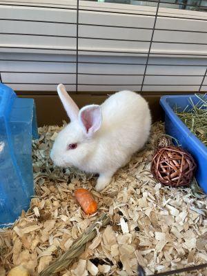 Alice American Rabbit