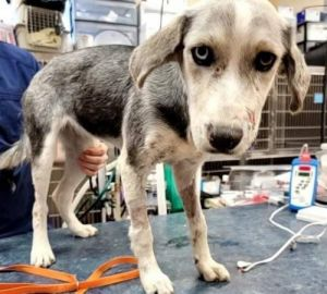 You can fill out an adoption application online on our official website Leia TX is a Sheperd mix