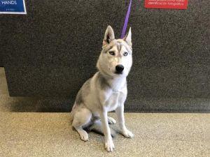 I1353150 Husky Dog