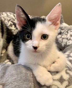 Rickie (bonded to Ramona) Domestic Short Hair Cat