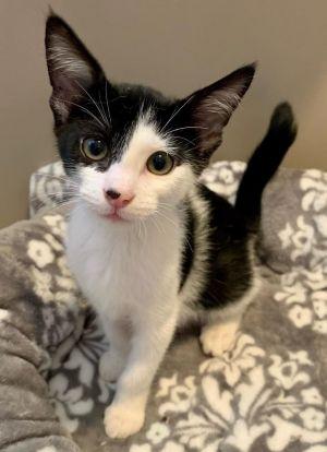 Ramona (bonded to Rickie) Domestic Short Hair Cat